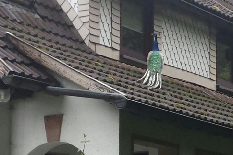 Der Pfau büchste in der Nacht aus und machte es sich auf dem Dach seines Besitzers bequem.