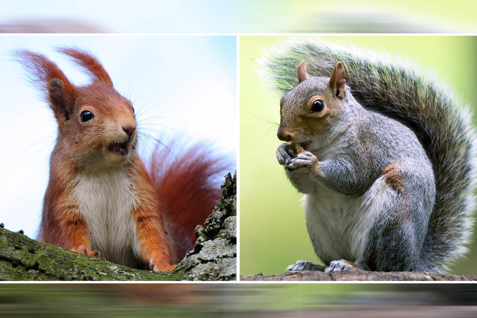 Red squirrels (l) often die from the small pox that gray squirrels carry.
