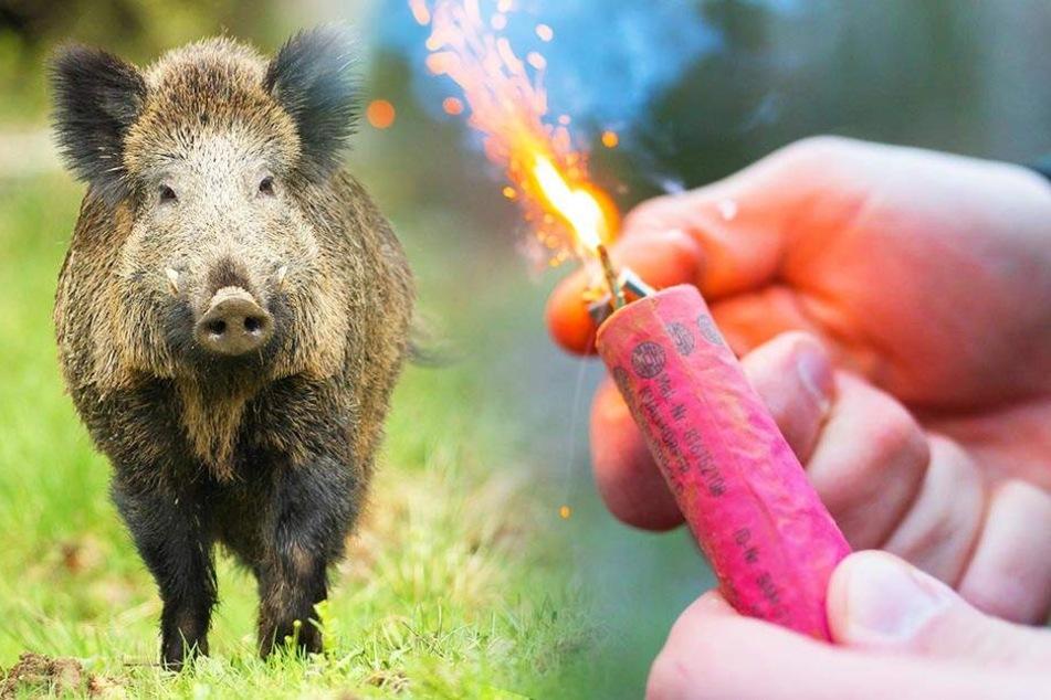 Staatsbad wehrt sich akustisch: Böller gegen Wildschweine!