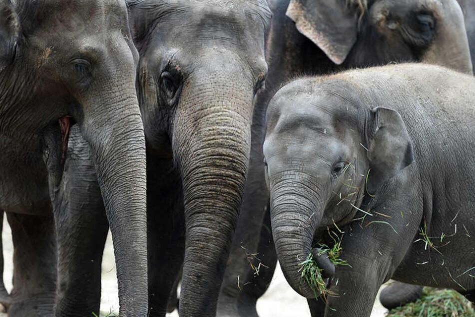 Die sieben Elefanten aus dem Zoo haben sich bisher alle mit dem Virus infiziert.