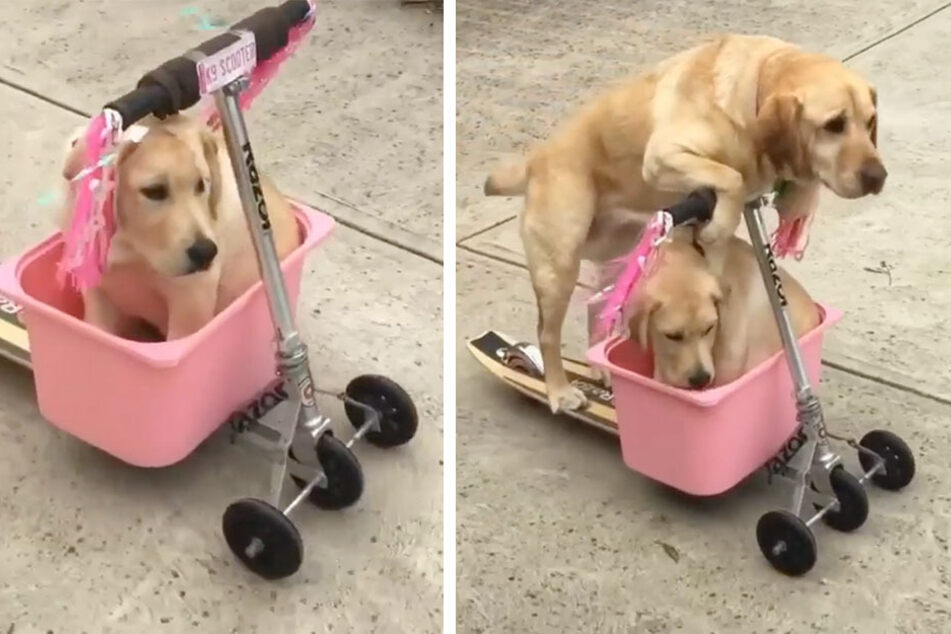 Adorable therapy dog takes her brother on a rootin'-scootin' ride!