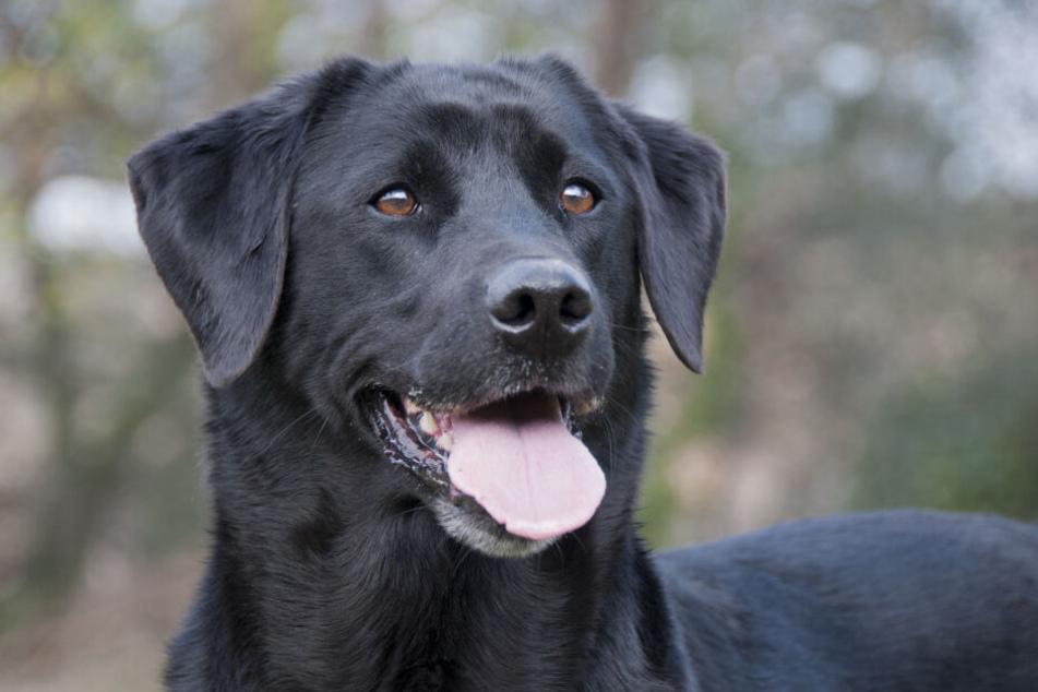 """Für einen Labrador wie diesen wurde ein Traum wahr! Er wurde kurzerhand zum """"Diensthund"""" (Symbolbild)."""