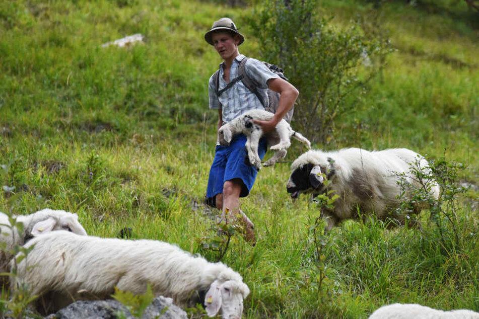 Beim Almabtrieb wurde klar, wie viele Schafe tatsächlich beim Absturz gestorben waren. (Archivbild)