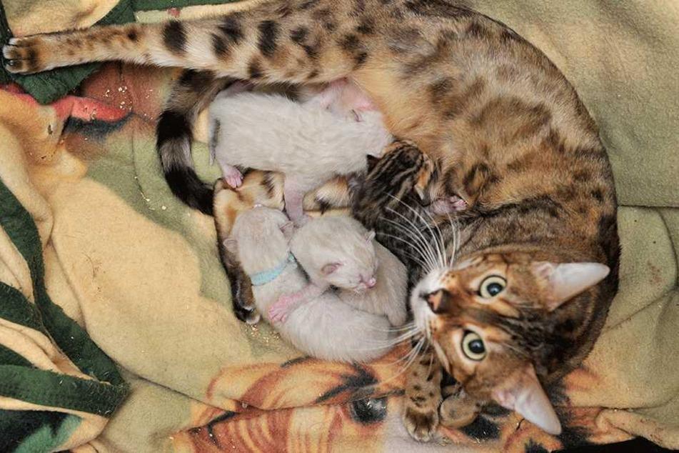 Miau: Bengalkatzen-Mama Sweety (4) mit ihren vier Minis.