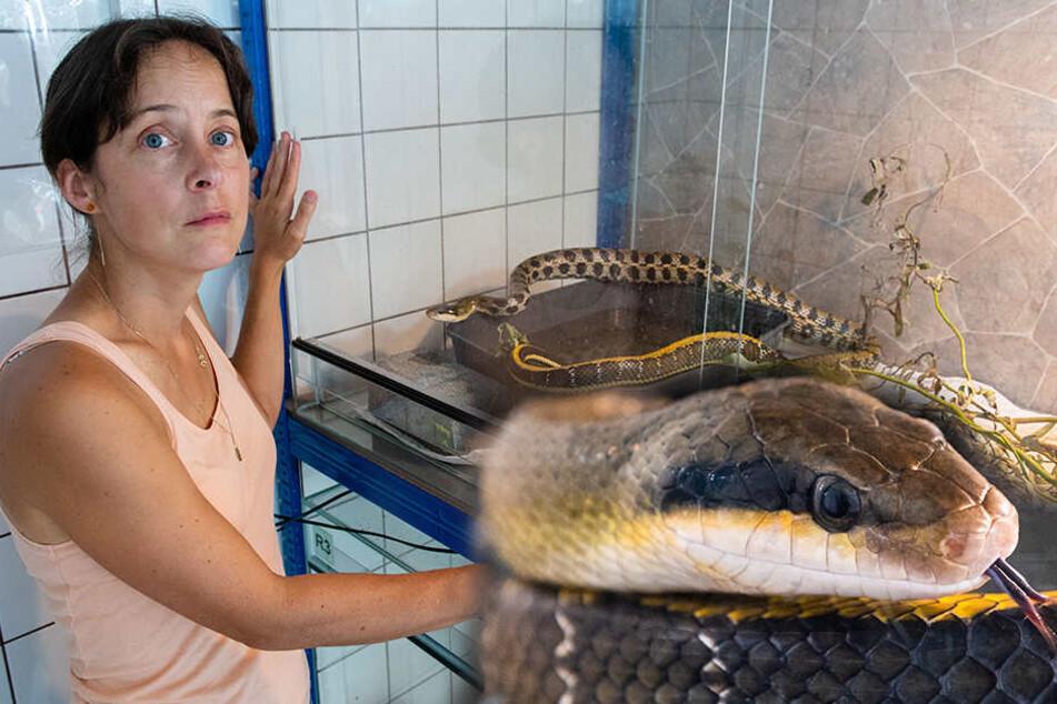 Nichts für schwache Nerven! Zwei Meter lange Schlange gefunden