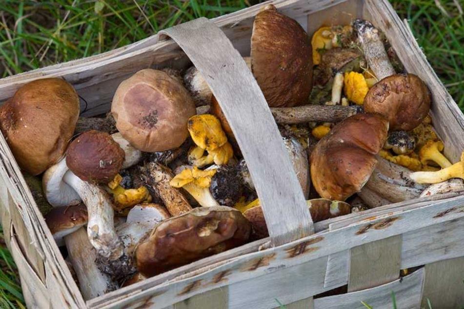Ein Vorteil des vielen Regens ist, dass es in diesem Jahr besonders viele Pilze gibt.