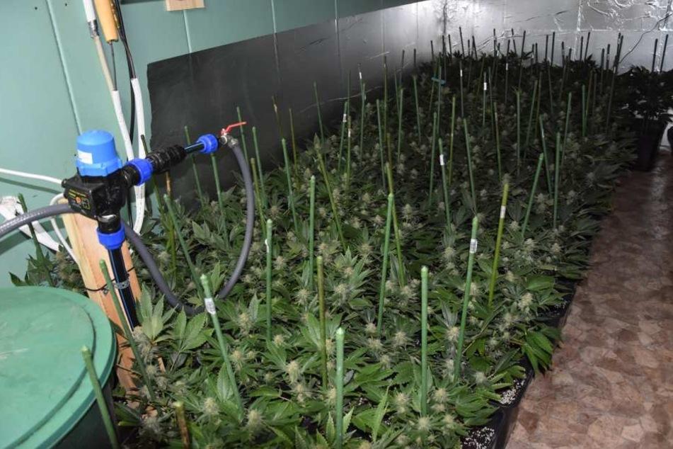 Die Polizei hat in einem Einfamilienhaus in der Gemeinde Sundhausen (Unstrut-Hainich-Kreis) eine Cannabisplantage entdeckt.