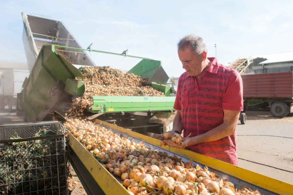 Reiner Tischler begutachtet das würzige Gemüse in Calbe (Sachsen-Anhalt).