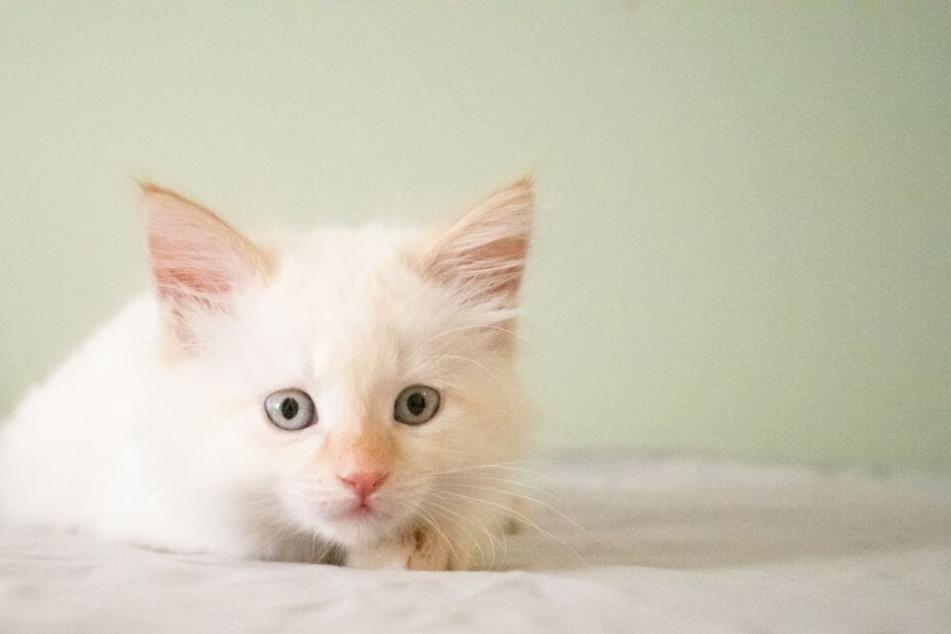 Junge Katzen können Milchzucker verarbeiten.