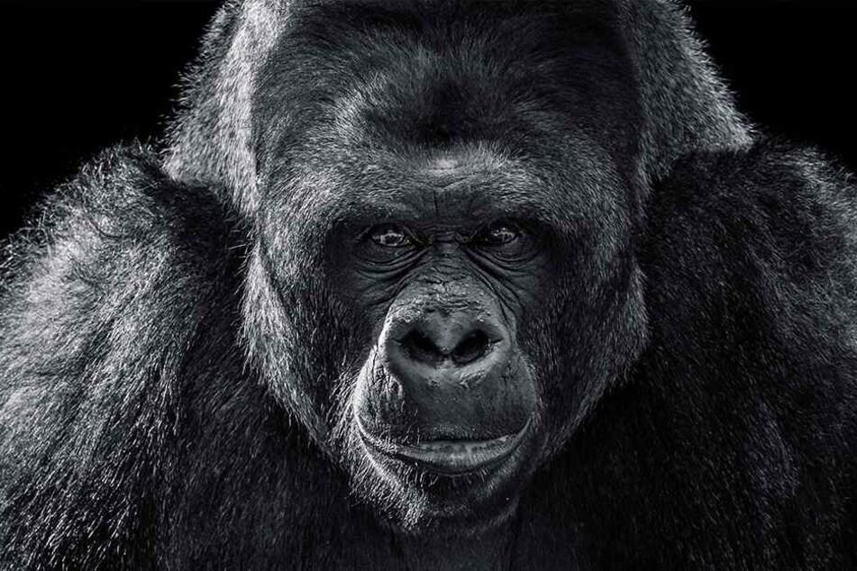 Der Hybrid-Embryo hätte tatsächlich zu einem Affen mit menschlichen Stammzellen heranwachsen können.
