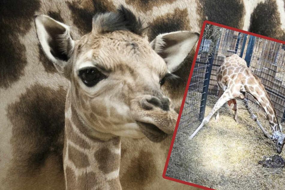 Nach Totgeburt im Live-Stream: Giraffen-Mama Femke an Gebärmutterriss gestorben