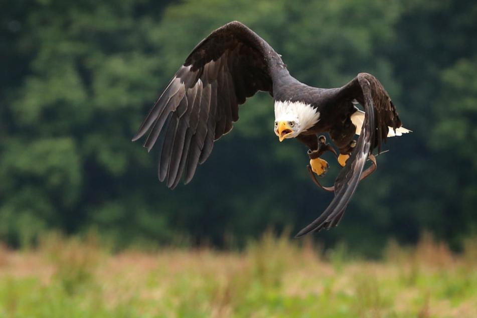 Der Greifvogel mit einer Spannweite bis zu zwei Metern ist eine Woche nach seinem verschwinden wieder aufgetaucht. (Symbolbild)