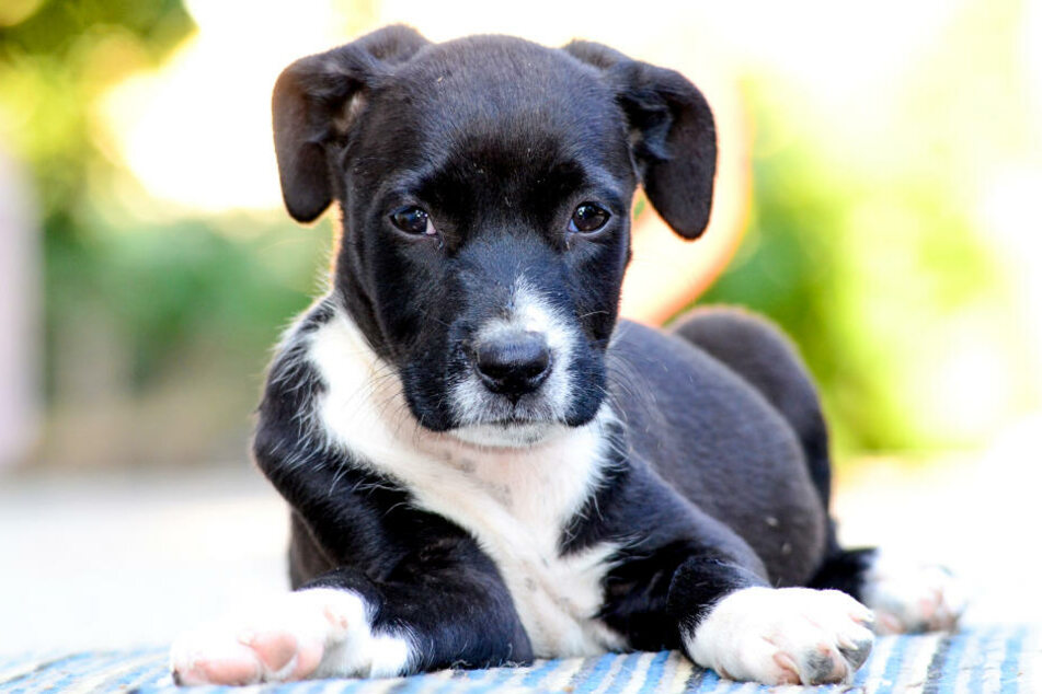 Solch ein American Staffordshire Terrier soll Alexandra G. weggenommen werden (Symbolbild).