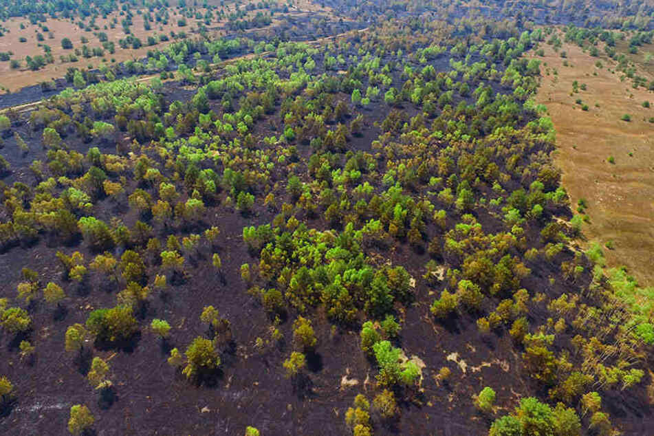 Deutlich ist die verbrannte Fläche der Heidelandschaft nach dem Waldbrand im Gebiet der Lieberoser Heide zu sehen.