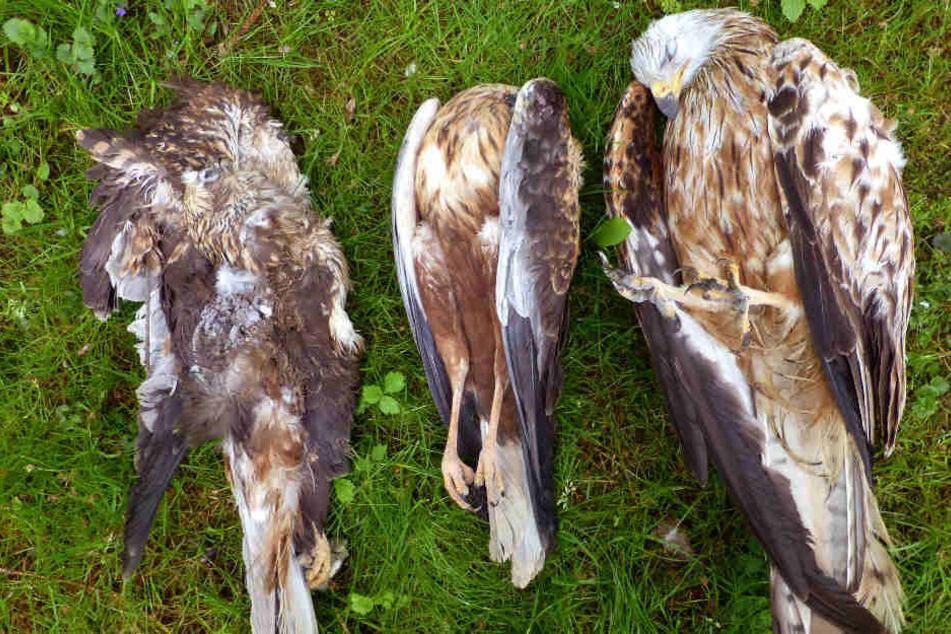 Zwei Rotmilane und ein Mäusebussard liegen tot in einer Wiese - Sie wurden mit Carbofuran vergiftet.