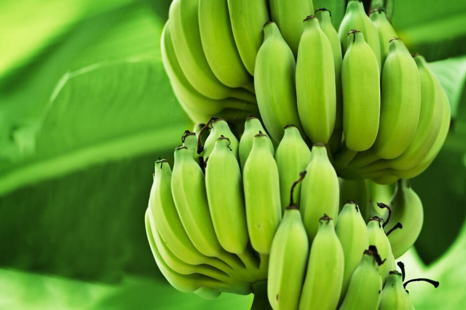 Der Verzehr von grünen Bananenschalen ist gut für den Schlaf und die Darmgesundheit.