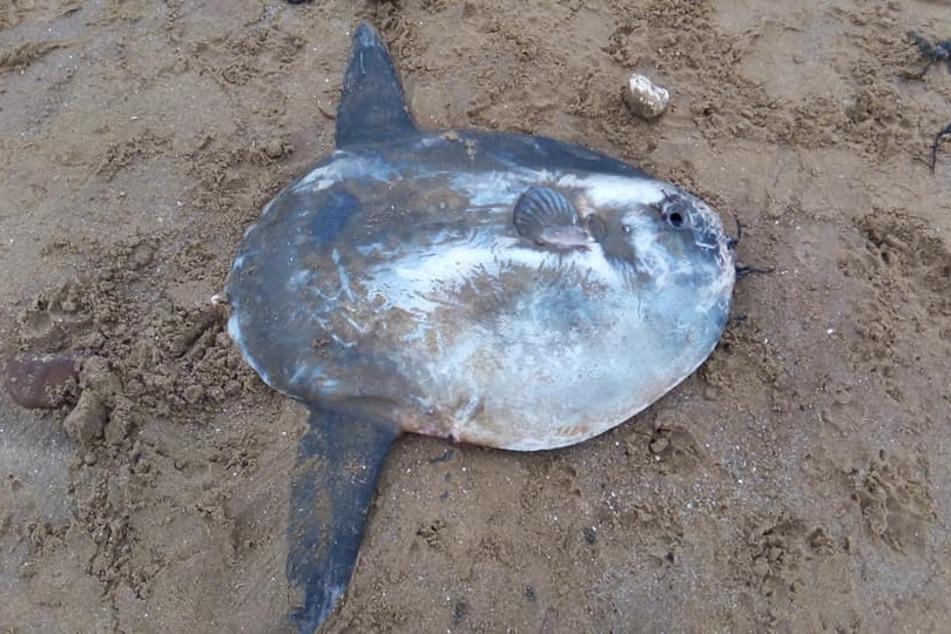Wow! Diesen Mondfisch entdeckte ein Mann an einem Strand in England.