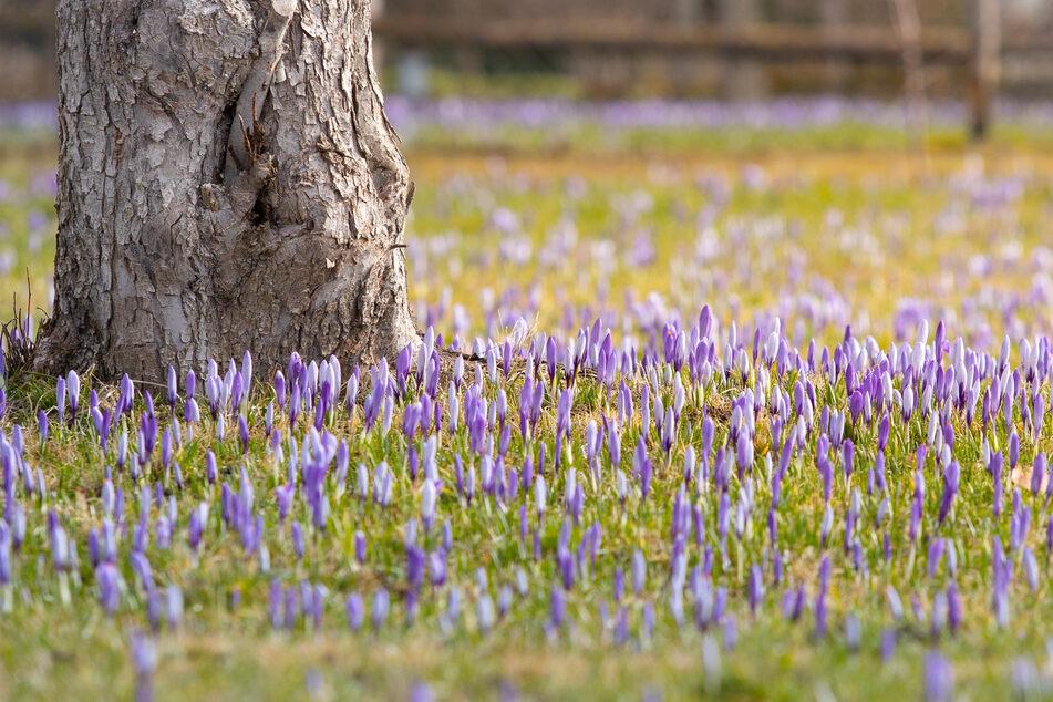 """Die """"Nackten Jungfern"""" blühen wieder!Wird's jetzt Frühling in Sachsen?"""