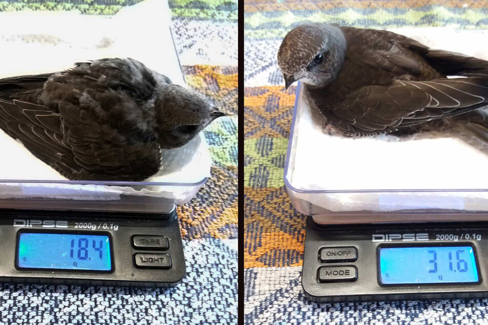 Die Vogelbabies konnten zwar gerettet werden, jedoch überlebte nur eines der Geschwister.