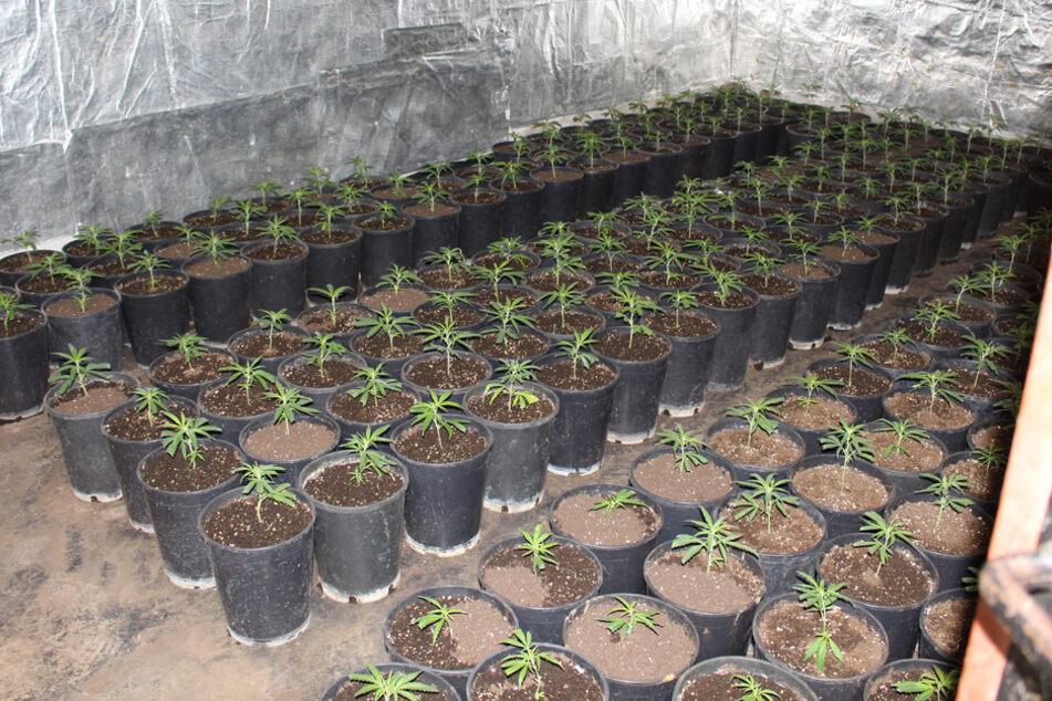 Mehr als 700 Cannabispflanzen wurden im Keller des Anwesens gezüchtet.
