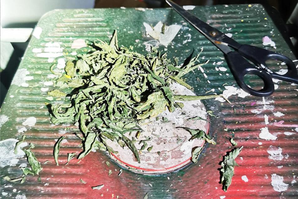 Unter anderem Cannabis soll der Mann vor der Autofahrt konsumiert haben. Diese zerstückelte Pflanze fanden Polizisten bei ihm zu Hause.
