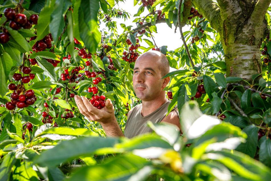 Die Bäume von Obstbauer Robert Rüdiger (36) hängen voll mit süßen Kirschen und können von Selbstpflückern geerntet werden.