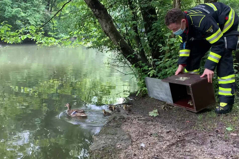Die Feuerwehr ließ die Entenfamilie in den Isarauen frei.
