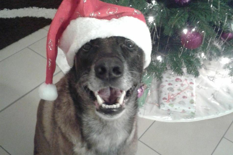 Weihnachten 2016 für Diensthund Ivo: Wenige Tage vorher wurde er von einem Kriminellen mit einer Holzlatte verprügelt.