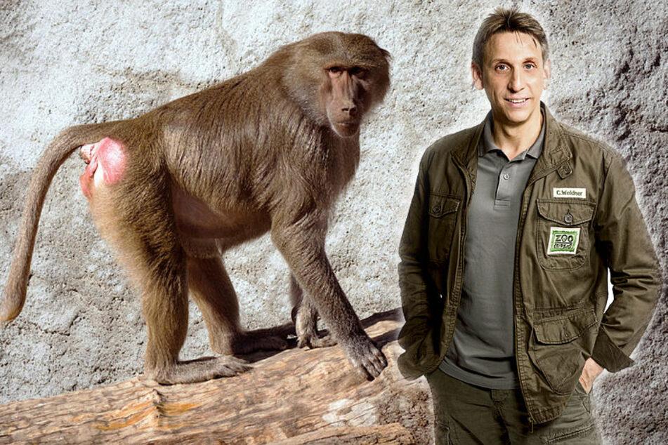Double wegen eines Affen: Thorsten Wolfs Angst-Beichte im Riverboat!