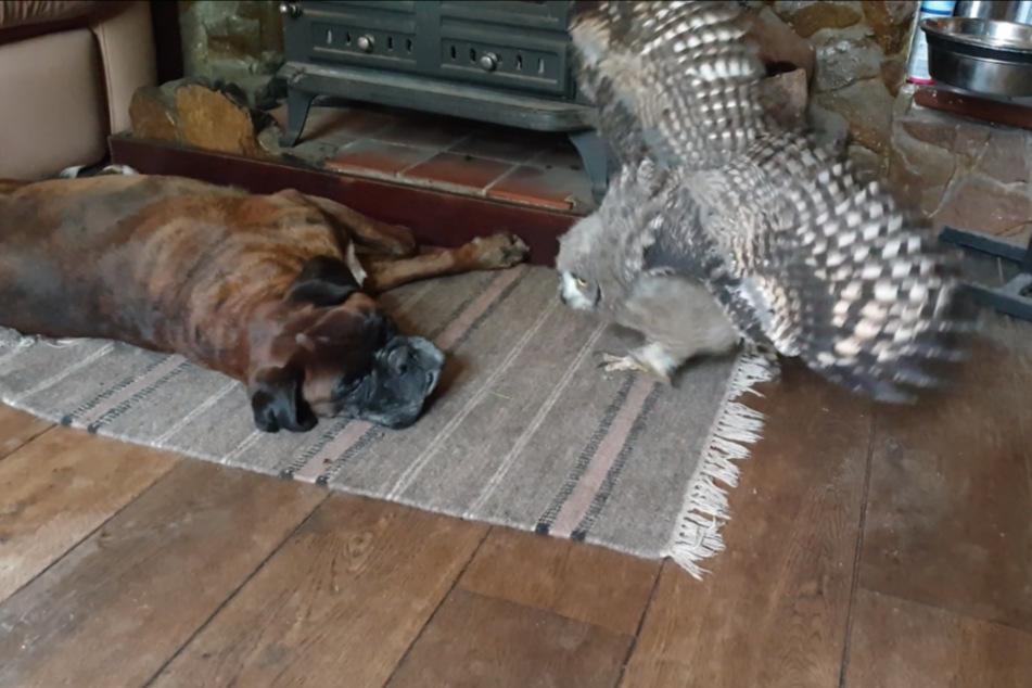 Mit ihren wilden Bewegungen versucht die Eule den Hund zu provozieren.