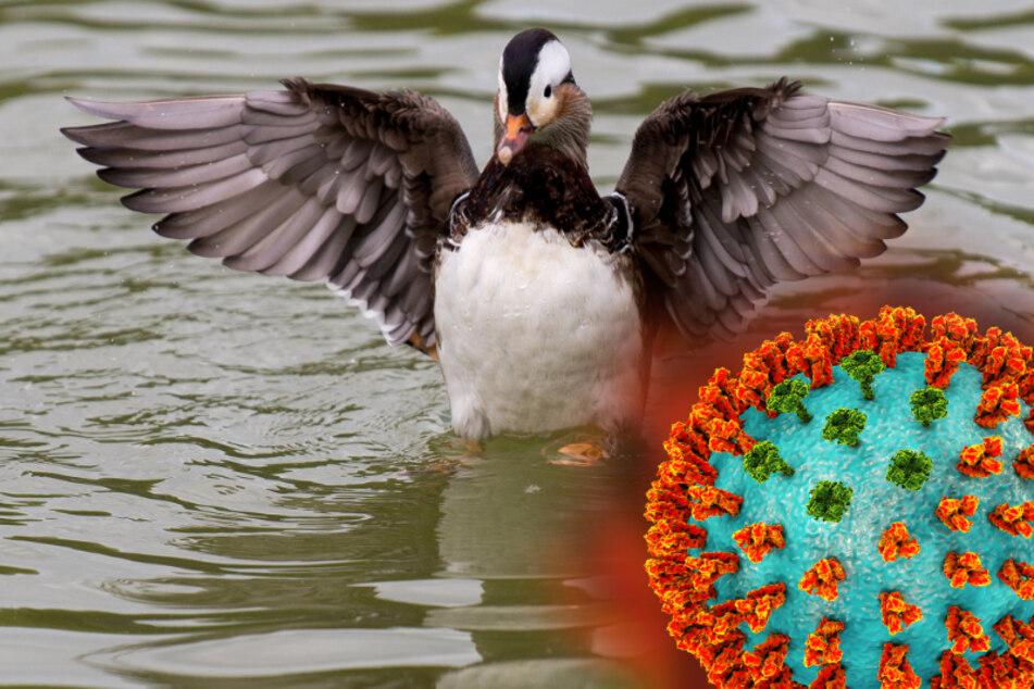 Weiterer Vogelgrippe-Fall in Sachsen!