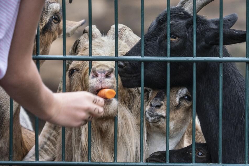 Besucher füttern im Kronberger Opel-Zoo Ziegen mit Karotten.