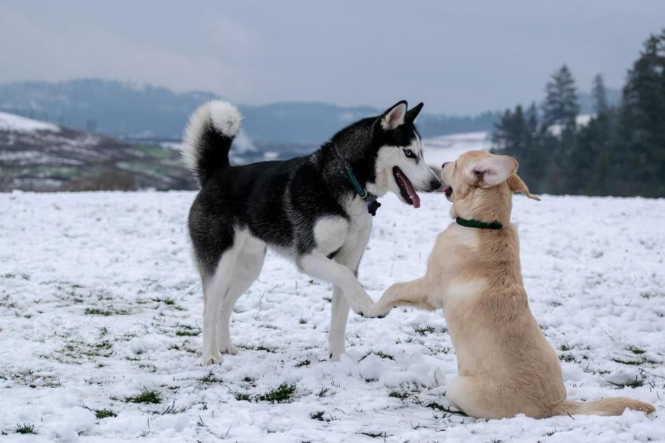 Der Ersthund ist im Idealfall drei bis vier Jahre älter als der Zweithund.