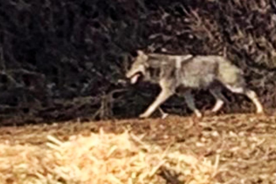Wölfe: Hier läuft ein Wolf durch Hamburg!