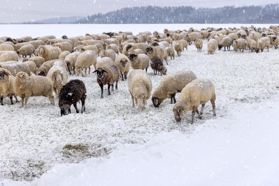 Die rund 600 Schafe auf der Weide in Zwönitz sind Meister darin, Futter unter dem Schnee aufzuspüren.