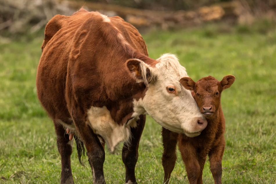 Eine kalbende Kuh hat im Landkreis Rosenheim drei Personen verletzt. (Symbolbild)