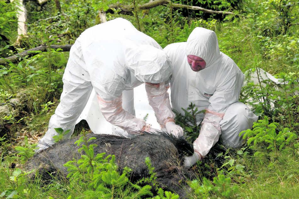 Die Afrikanische Schweinepest kann auch Hausschweinen gefährlich werden: Veterinäre untersuchen in Schutzanzügen ein totes Wildschwein.