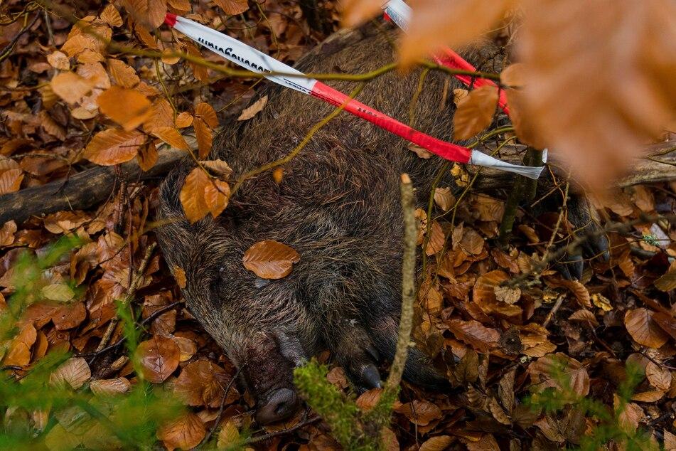 Gegen die Afrikanische Schweinepest: NRW erlaubt Wildschwein-Jagd