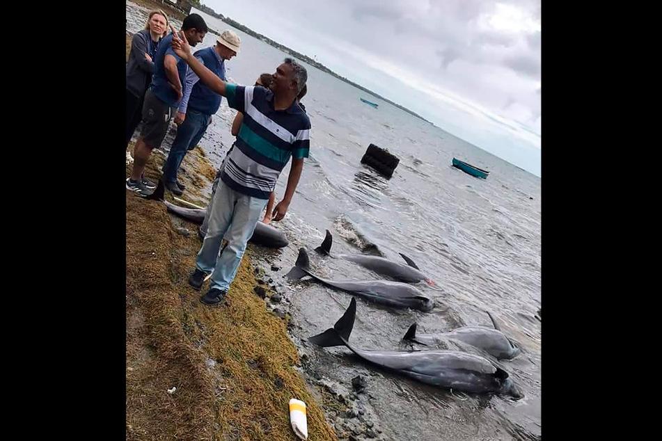 Einen Monat nach einer Ölkatastrophe vor der Küste von Mauritius sind in dem Urlaubsparadies über 30 tote Delfine an Land gespült worden.