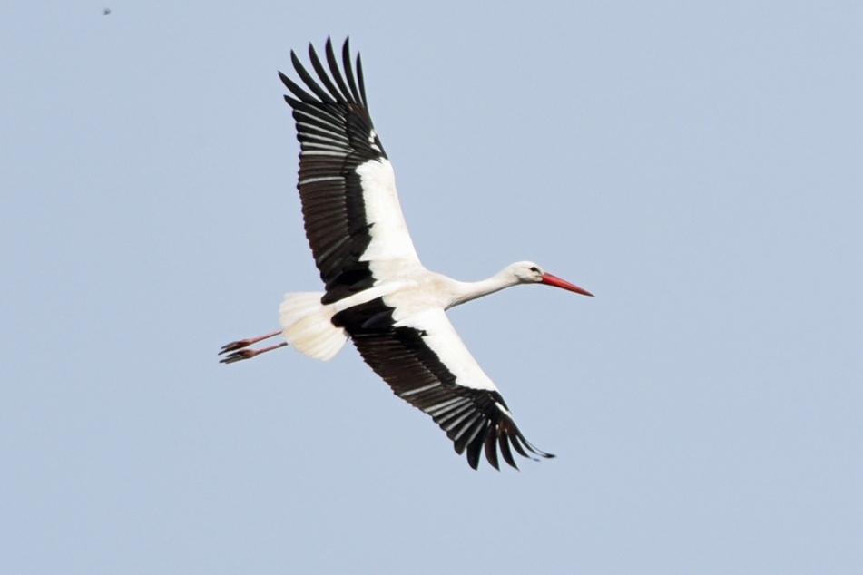 Ein Storch machte eine unfreiwillig harte Landung. (Symbolbild)
