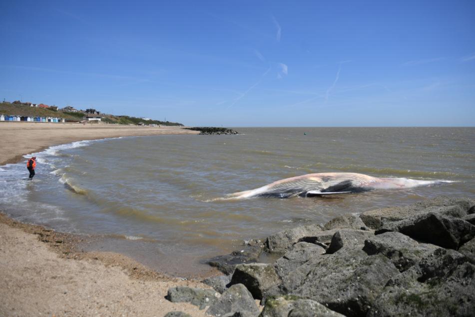 Ein Mann, der eine Schwimmweste trägt, geht in Richtung des toten, etwa 12 Meter langen Wals ins Meer.