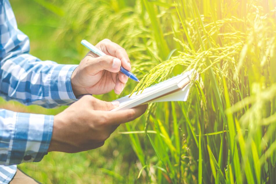 Reispflanzen nehmen besonders viel Arsen auf, weil sie nass angebaut werden.
