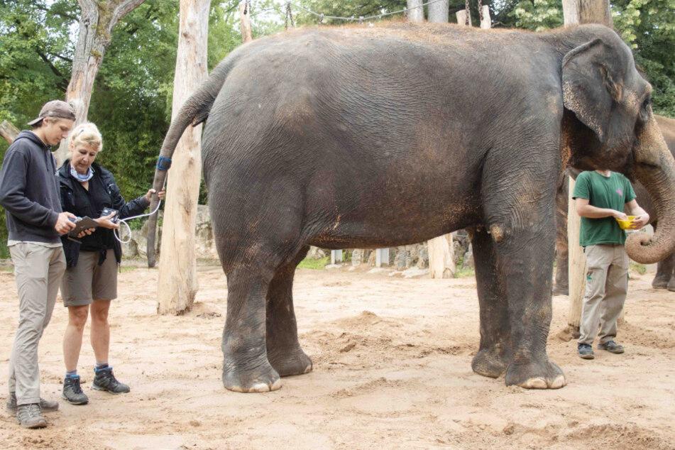 Timm-Julian Egner (l.) und Beate Egner erfassen im Zoo Wilhelma den Blutdruck der Elefantendame Zella. Die Manschette wird dabei am Schwanz angelegt, denn die Messung muss auf Höhe des Herzens erfolgen.