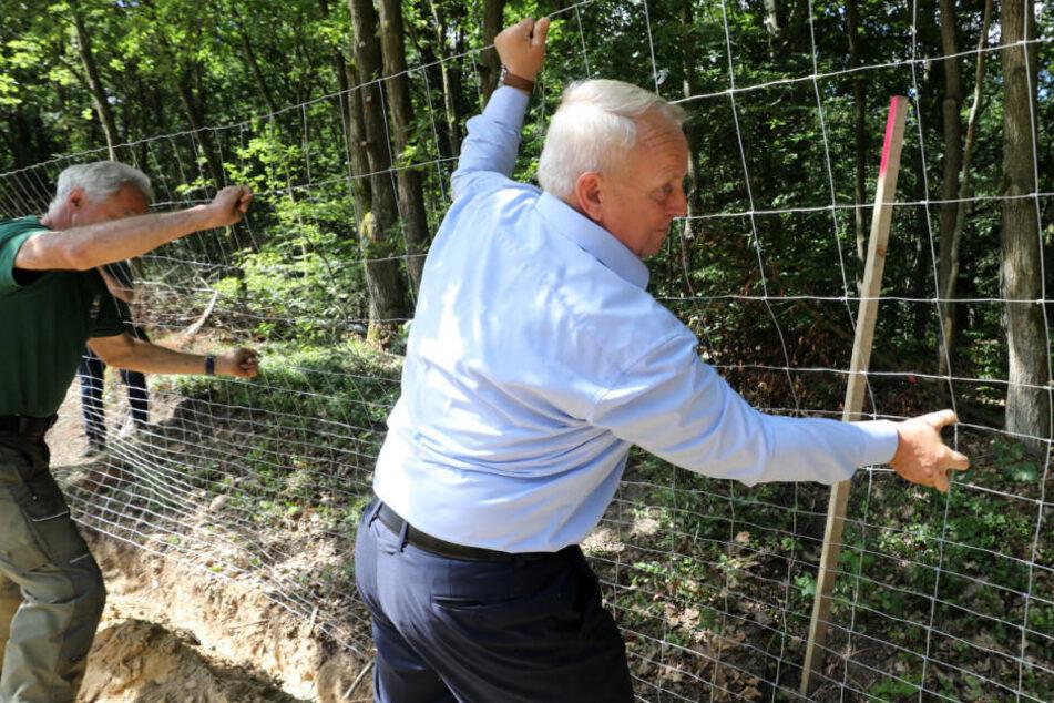 Schweinepest breitet sich in Brandenburg aus: Mecklenburg-Vorpommern beschleunigt Zaunbau