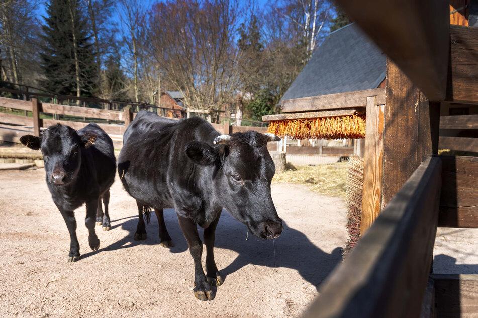 Auch den Zwergrindern im Zoo der Minis fehlen die Gäste.
