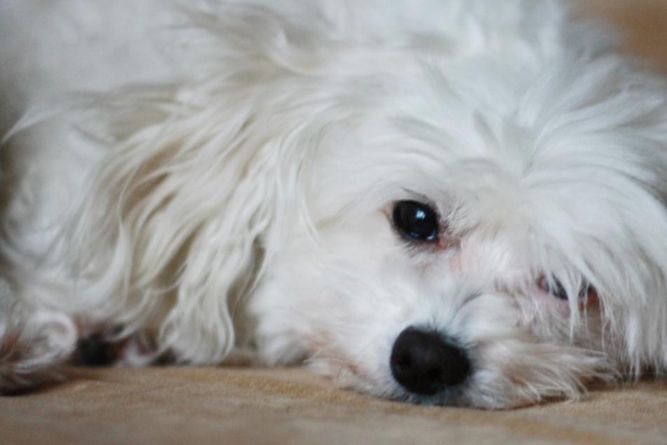 Ein Auge hing heraus! Familie unter Schock: Hundetreter misshandelt Malteser