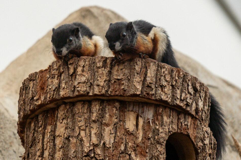 Die beiden Prevost-Hörnchen haben am 29. August im Kölner Zoo das Licht der Welt erblickt.