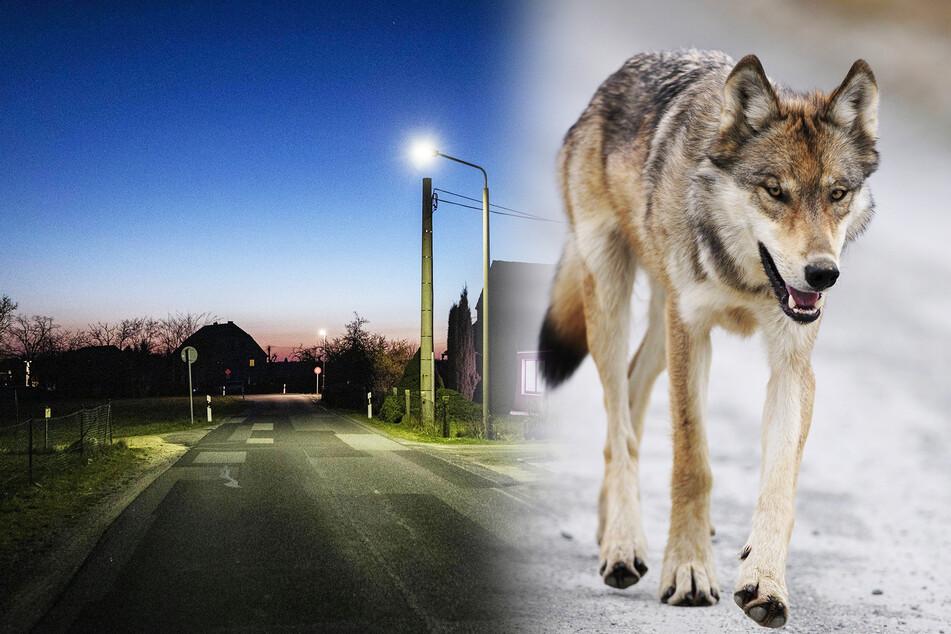 Wölfe: Alles menschenleer: Kommt jetzt der Wolf in die Stadt?