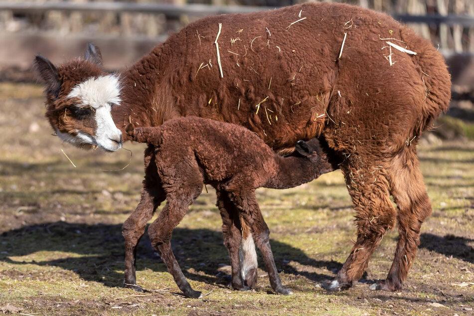 """In Aue ist das Alpaka-Fohlen """"Hope"""" zur Welt gekommen."""