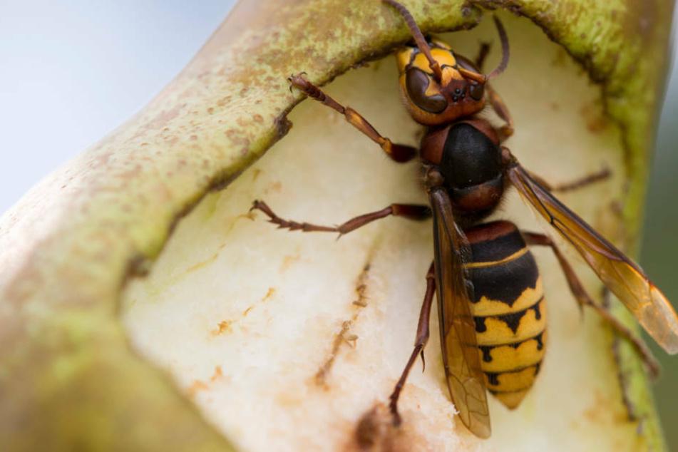 Bloß nicht anpusten: die wichtigsten Fakten über Wespen